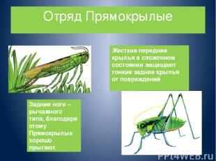 Отряд Прямокрылые Жесткие передние крылья в сложенном состоянии защищают тонкие