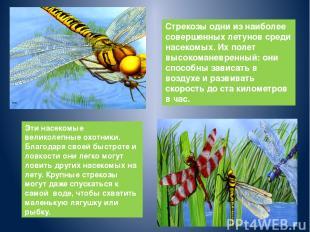 Стрекозы одни из наиболее совершенных летунов среди насекомых. Их полет высокома