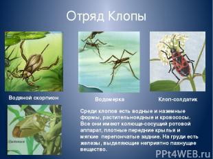 Отряд Клопы Среди клопов есть водные и наземные формы, растительноядные и кровос