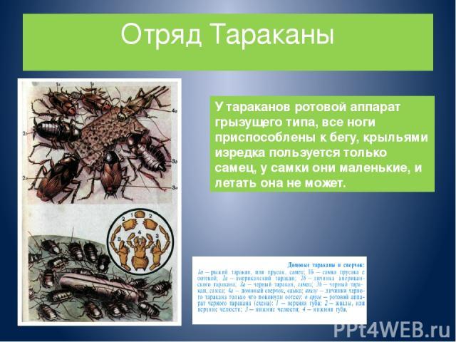 Отряд Тараканы У тараканов ротовой аппарат грызущего типа, все ноги приспособлены к бегу, крыльями изредка пользуется только самец, у самки они маленькие, и летать она не может.