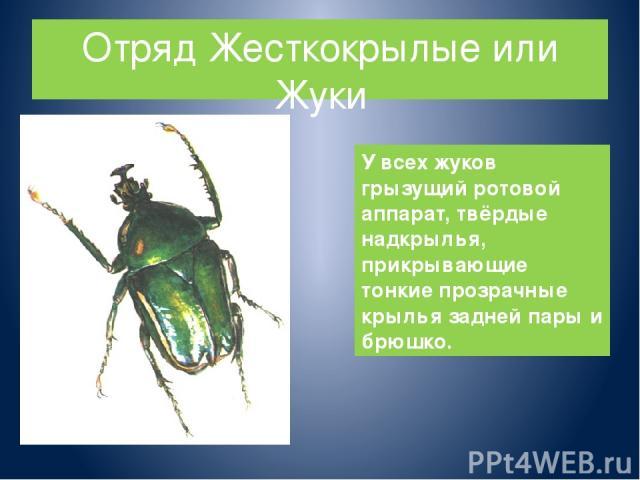 Отряд Жесткокрылые или Жуки У всех жуков грызущий ротовой аппарат, твёрдые надкрылья, прикрывающие тонкие прозрачные крылья задней пары и брюшко.