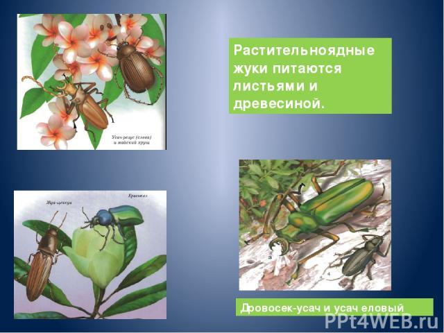 Дровосек-усач и усач еловый Растительноядные жуки питаются листьями и древесиной.