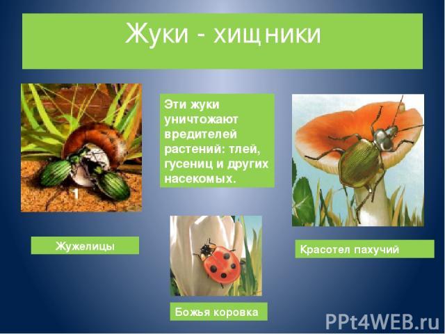 Жуки - хищники Жужелицы Божья коровка Красотел пахучий Эти жуки уничтожают вредителей растений: тлей, гусениц и других насекомых.