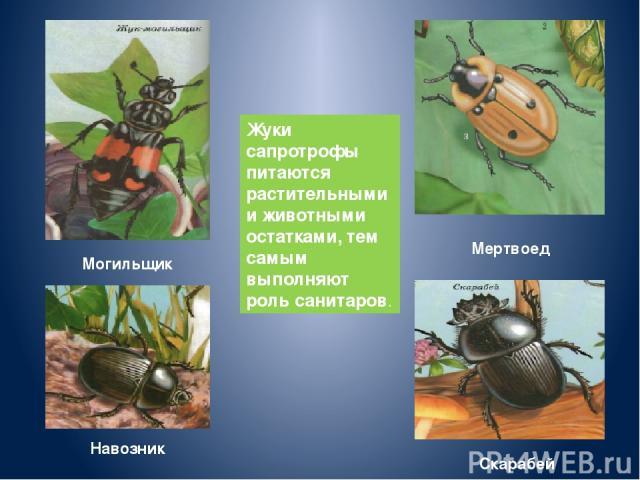 Жуки сапротрофы питаются растительными и животными остатками, тем самым выполняют роль санитаров. Навозник Мертвоед Скарабей Могильщик