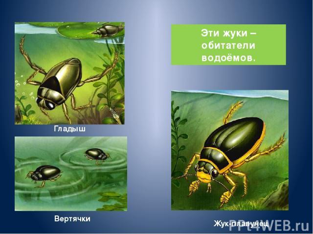 Гладыш Вертячки Жук-плавунец Эти жуки – обитатели водоёмов.