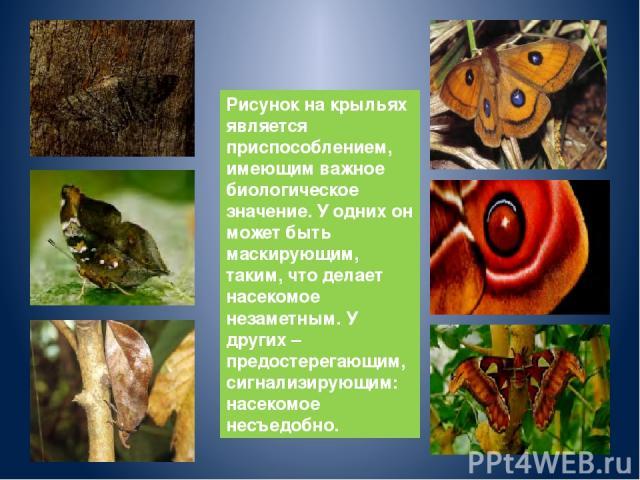 Рисунок на крыльях является приспособлением, имеющим важное биологическое значение. У одних он может быть маскирующим, таким, что делает насекомое незаметным. У других – предостерегающим, сигнализирующим: насекомое несъедобно.