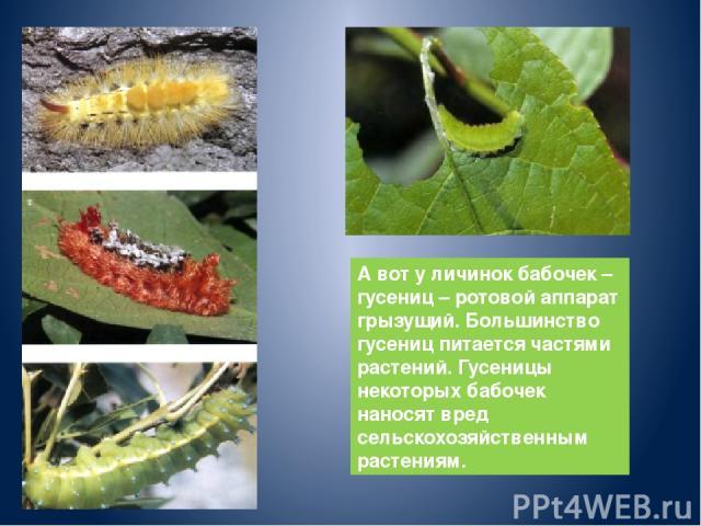 А вот у личинок бабочек – гусениц – ротовой аппарат грызущий. Большинство гусениц питается частями растений. Гусеницы некоторых бабочек наносят вред сельскохозяйственным растениям.
