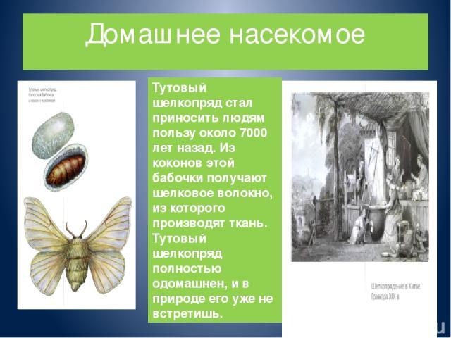 Домашнее насекомое Тутовый шелкопряд стал приносить людям пользу около 7000 лет назад. Из коконов этой бабочки получают шелковое волокно, из которого производят ткань. Тутовый шелкопряд полностью одомашнен, и в природе его уже не встретишь.