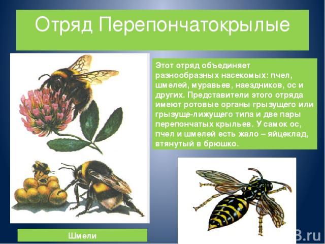 Отряд Перепончатокрылые Этот отряд объединяет разнообразных насекомых: пчел, шмелей, муравьев, наездников, ос и других. Представители этого отряда имеют ротовые органы грызущего или грызуще-лижущего типа и две пары перепончатых крыльев. У самок ос, …
