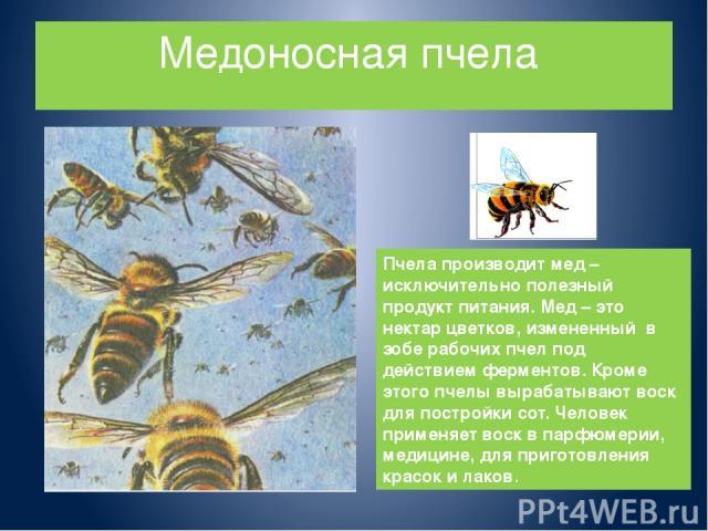 Медоносная пчела Пчела производит мед – исключительно полезный продукт питания. Мед – это нектар цветков, измененный в зобе рабочих пчел под действием ферментов. Кроме этого пчелы вырабатывают воск для постройки сот. Человек применяет воск в парфюме…