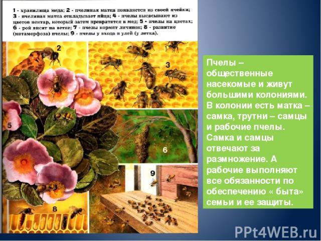 Пчелы – общественные насекомые и живут большими колониями. В колонии есть матка – самка, трутни – самцы и рабочие пчелы. Самка и самцы отвечают за размножение. А рабочие выполняют все обязанности по обеспечению « быта» семьи и ее защиты.