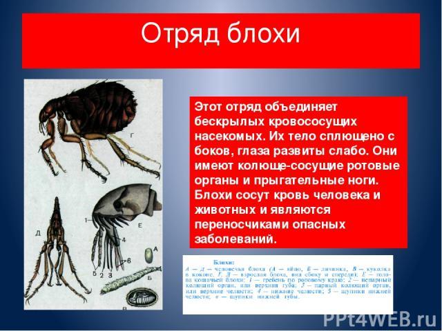 Отряд блохи Этот отряд объединяет бескрылых кровососущих насекомых. Их тело сплющено с боков, глаза развиты слабо. Они имеют колюще-сосущие ротовые органы и прыгательные ноги. Блохи сосут кровь человека и животных и являются переносчиками опасных за…