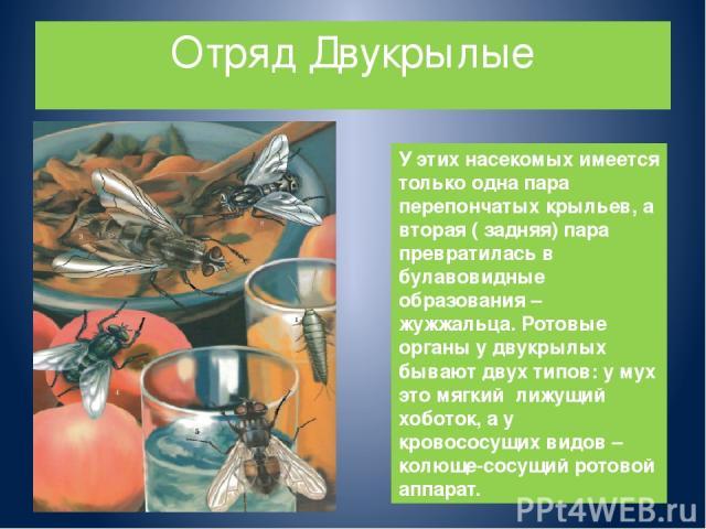 Отряд Двукрылые У этих насекомых имеется только одна пара перепончатых крыльев, а вторая ( задняя) пара превратилась в булавовидные образования – жужжальца. Ротовые органы у двукрылых бывают двух типов: у мух это мягкий лижущий хоботок, а у кровосос…