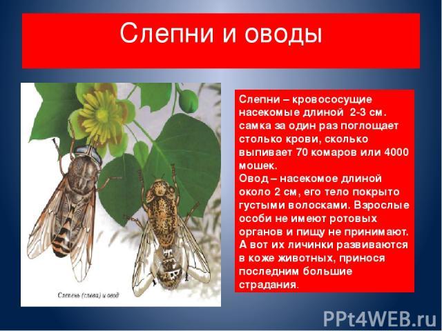 Слепни и оводы Слепни – кровососущие насекомые длиной 2-3 см. самка за один раз поглощает столько крови, сколько выпивает 70 комаров или 4000 мошек. Овод – насекомое длиной около 2 см, его тело покрыто густыми волосками. Взрослые особи не имеют рото…
