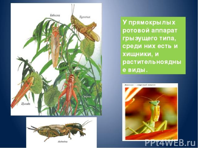 У прямокрылых ротовой аппарат грызущего типа, среди них есть и хищники, и растительноядные виды.