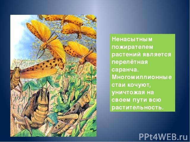 Ненасытным пожирателем растений является перелётная саранча. Многомиллионные стаи кочуют, уничтожая на своем пути всю растительность.