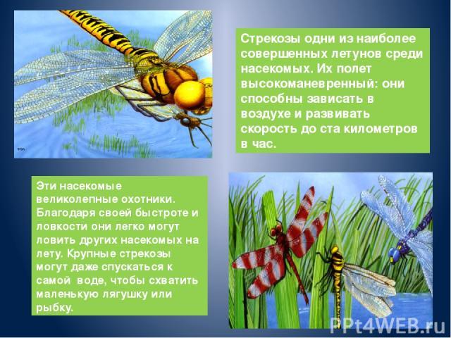 Стрекозы одни из наиболее совершенных летунов среди насекомых. Их полет высокоманевренный: они способны зависать в воздухе и развивать скорость до ста километров в час. Эти насекомые великолепные охотники. Благодаря своей быстроте и ловкости они лег…