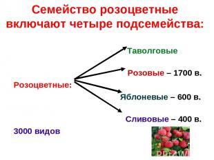 Семейство розоцветные включают четыре подсемейства: Таволговые Розовые – 1700 в.