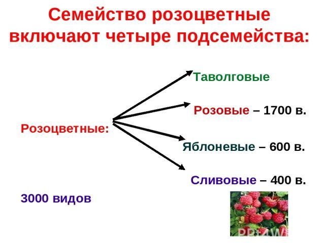 Семейство розоцветные включают четыре подсемейства: Таволговые Розовые – 1700 в. Розоцветные: Яблоневые – 600 в. Сливовые – 400 в. 3000 видов