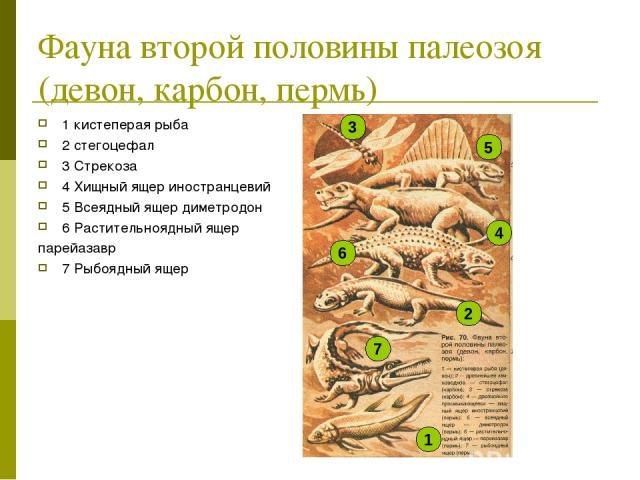 Фауна второй половины палеозоя (девон, карбон, пермь) 1 кистеперая рыба 2 стегоцефал 3 Стрекоза 4 Хищный ящер иностранцевий 5 Всеядный ящер диметродон 6 Растительноядный ящер парейазавр 7 Рыбоядный ящер 1 7 2 6 4 5 3