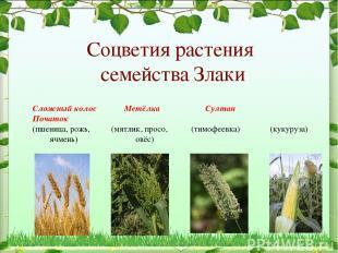 Соцветия растения семейства Злаки Сложный колос Метёлка Султан Початок (пшеница,