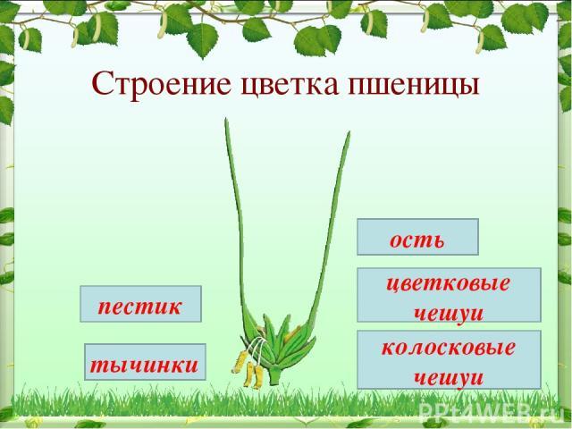 Строение цветка пшеницы тычинки пестик ость цветковые чешуи колосковые чешуи