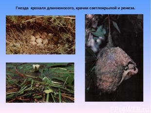 Гнезда крохаля длинноносого, крачки светлокрылой и ремеза.