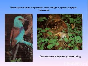 Некоторые птицы устраивают свои гнезда в дуплах и других укрытиях. Сизоворонка и