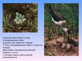 Скорлупа яйца белая у птиц, откладывающих яйца в дуплах или закрытых гнёздах. У