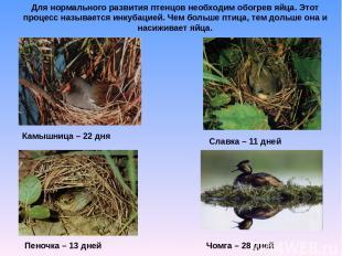 Для нормального развития птенцов необходим обогрев яйца. Этот процесс называется