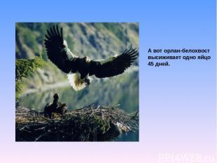 А вот орлан-белохвост высиживает одно яйцо 45 дней.