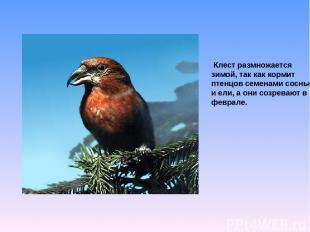 Клест размножается зимой, так как кормит птенцов семенами сосны и ели, а они соз
