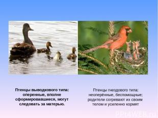Птенцы гнездового типа: неоперённые, беспомощные; родители согревают их своим те