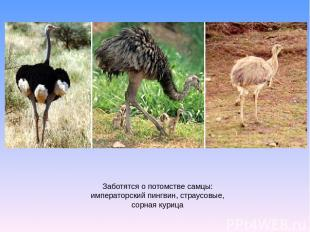 Заботятся о потомстве самцы: императорский пингвин, страусовые, сорная курица