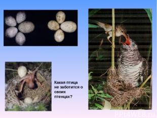 Какая птица не заботится о своих птенцах?