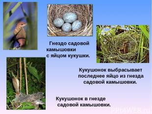 Гнездо садовой камышовки с яйцом кукушки. Кукушонок выбрасывает последнее яйцо и