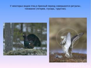 У некоторых видов птиц в брачный период совершаются ритуалы:, токование (тетерев