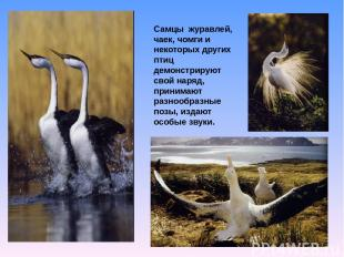 Самцы журавлей, чаек, чомги и некоторых других птиц демонстрируют свой наряд, пр