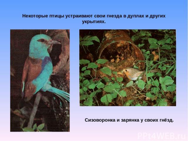 Некоторые птицы устраивают свои гнезда в дуплах и других укрытиях. Сизоворонка и зарянка у своих гнёзд.