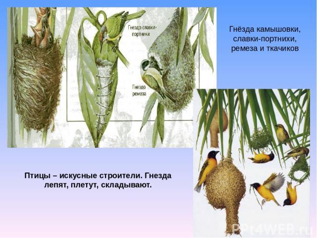 Гнёзда камышовки, славки-портнихи, ремеза и ткачиков Птицы – искусные строители. Гнезда лепят, плетут, складывают.