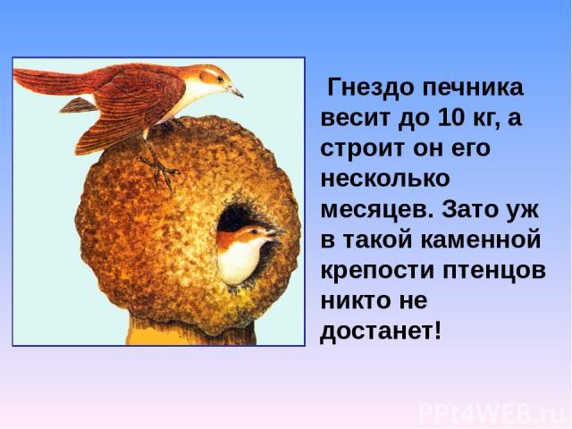 Гнездо печника весит до 10 кг, а строит он его несколько месяцев. Зато уж в такой каменной крепости птенцов никто не достанет!