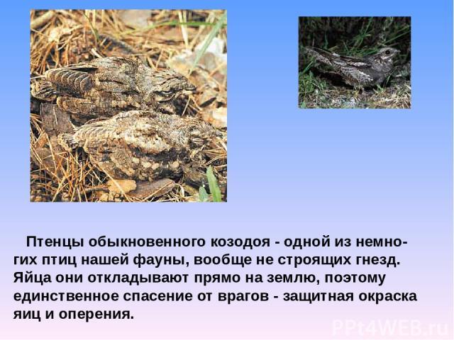 Птенцы обыкновенного козодоя - одной из немно-гих птиц нашей фауны, вообще не строящих гнезд. Яйца они откладывают прямо на землю, поэтому единственное спасение от врагов - защитная окраска яиц и оперения.