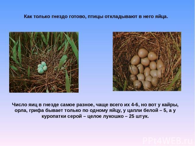 Число яиц в гнезде самое разное, чаще всего их 4-6, но вот у кайры, орла, грифа бывает только по одному яйцу, у цапли белой – 5, а у куропатки серой – целое лукошко – 25 штук. Как только гнездо готово, птицы откладывают в него яйца.