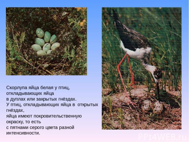 Скорлупа яйца белая у птиц, откладывающих яйца в дуплах или закрытых гнёздах. У птиц, откладывающих яйца в открытых гнёздах, яйца имеют покровительственную окраску, то есть с пятнами серого цвета разной интенсивности.