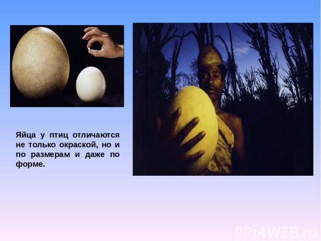 Яйца у птиц отличаются не только окраской, но и по размерам и даже по форме.