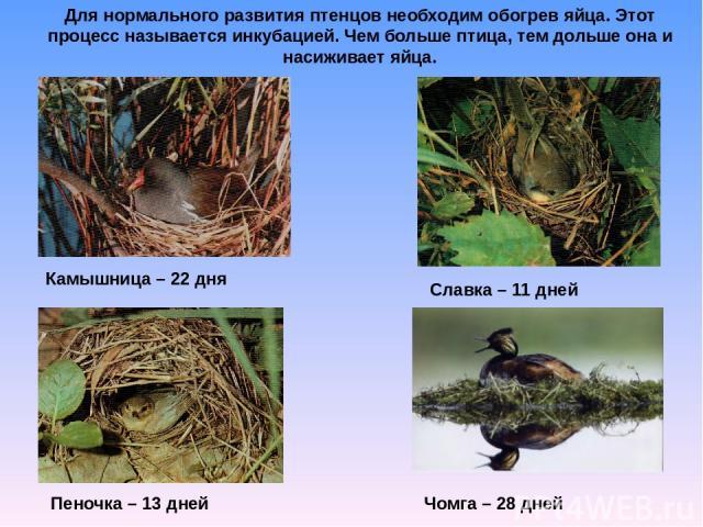 Для нормального развития птенцов необходим обогрев яйца. Этот процесс называется инкубацией. Чем больше птица, тем дольше она и насиживает яйца. Камышница – 22 дня Славка – 11 дней Пеночка – 13 дней Чомга – 28 дней