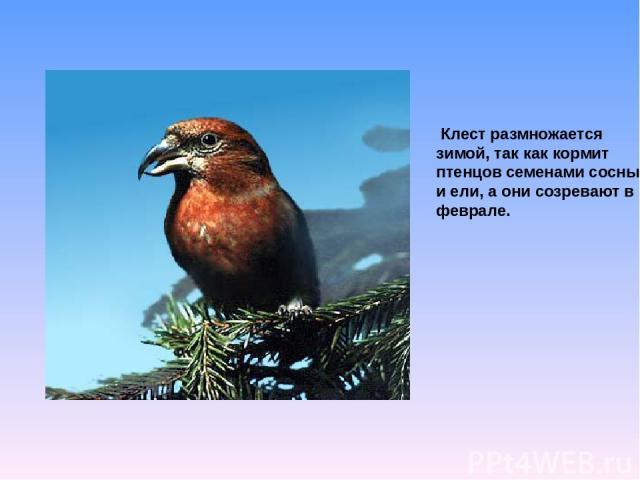 Клест размножается зимой, так как кормит птенцов семенами сосны и ели, а они созревают в феврале.