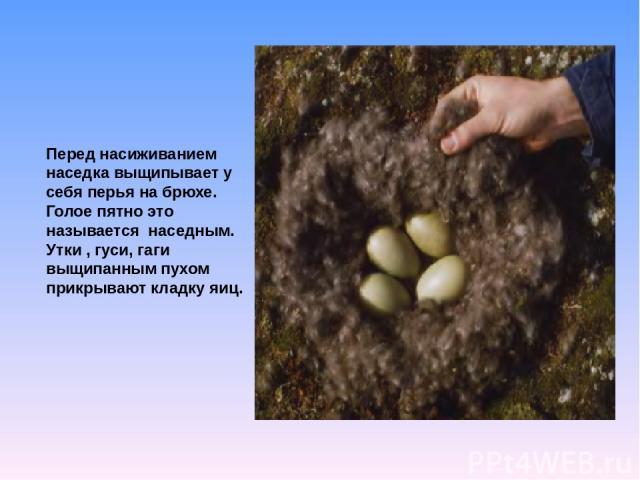 Перед насиживанием наседка выщипывает у себя перья на брюхе. Голое пятно это называется наседным. Утки , гуси, гаги выщипанным пухом прикрывают кладку яиц.