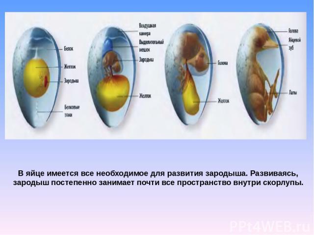В яйце имеется все необходимое для развития зародыша. Развиваясь, зародыш постепенно занимает почти все пространство внутри скорлупы.
