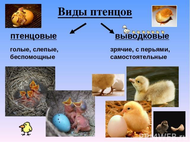 Виды птенцов птенцовые выводковые голые, слепые, беспомощные зрячие, с перьями, самостоятельные